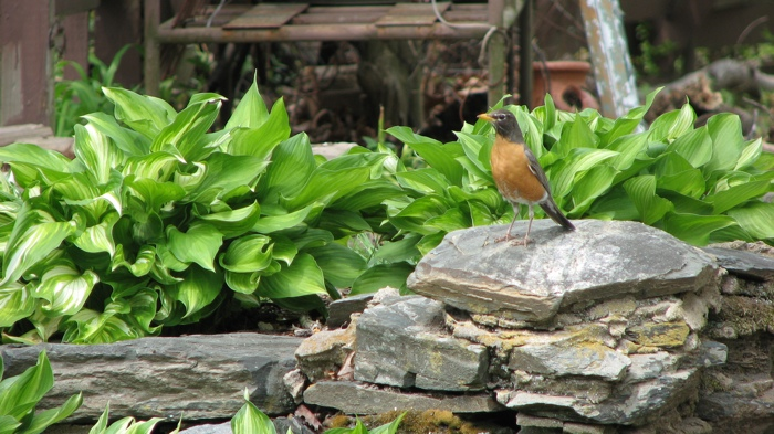 A Robin perched on some rocks